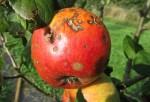 Mala manzana