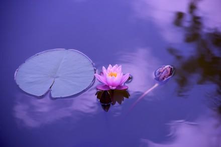 Lotus. Fotografia de Devanath