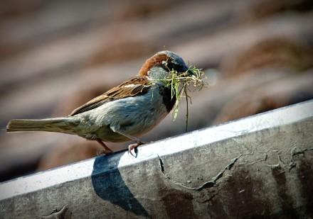 sparrow-827374_1280